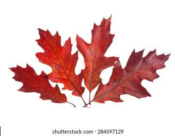 Four beautiful autumn leaves of red oak tree ( Quercus rubra ) isolated on white background.