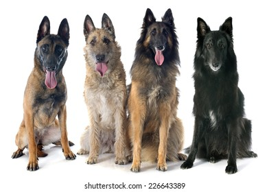 four belgian shepherds in front of white background
