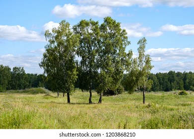 four birches in the summer in a clearing with grass, blue sky and clouds, trees on the field