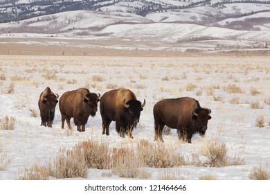 Four bison were found wandering near Kelly Wyoming.  Teton range is in the background.