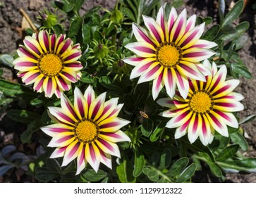 Four blossoms of Gazania flowers from above