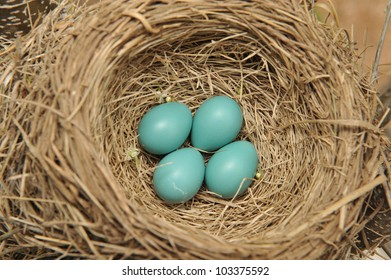 Four blue robin eggs in a nest