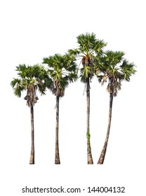 Four borassus flabellifer trees, known by several common names, including Asian Palmyra palm, Toddy palm, Sugar palm, or Cambodian palm, tropical tree in Thailand isolated on white background