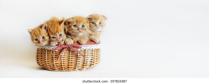four British red kitten in wicker basket with bow isolated on white banner. Funny orange cats