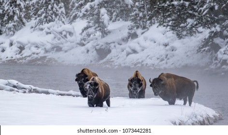 four bull bison in winter steam walk towards camera from river's edge with faces covered in snow in yellowstone national park