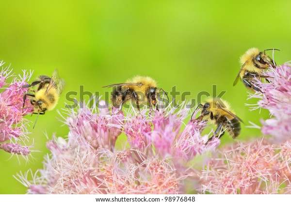 Four bumblebees collecting nectar on spotted joe-pye-weed bloom - Eupatorium maculatum.