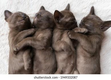 four burmese kittens sleep on the couch