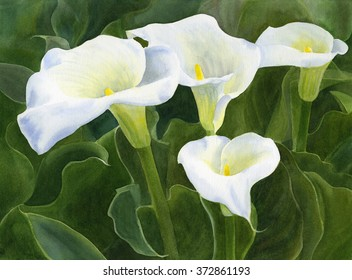 Four Calla Lily Blossoms with Leaves.  Watercolor painting of calla lilies with dark green leaves.
