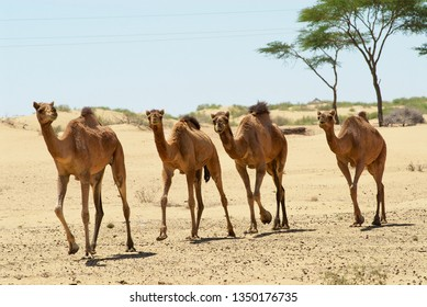 Four camels run in the Thar desert near Jamba, Rajasthan, India.