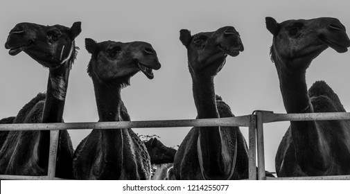 Four Camels in Silhouette at a Camel Farm in Abqiq, Eastern Province, Saudi Arabia