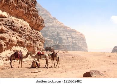 Four camels in Wadi Rum desert, Jordan