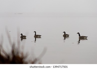 Four canada geese (Branta canadensis) swimming on a lake in Occoquan Bay National Wildlife Refuge