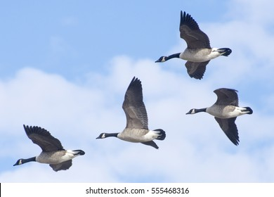 Four Canada geese fly over Washington DC