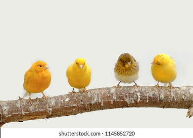 Four canary birds (Serinus canaria) siting in a branch
