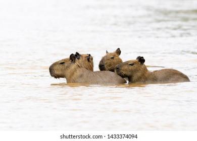 Four capybara (Hydrochaeris hydrochaeris) juveniles wading in river, Pantanal, Mato Grosso, Brazil