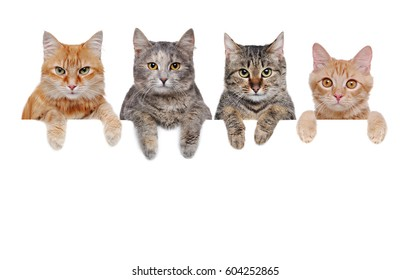 four cats  holding the blank board closeup portrait isolated on white