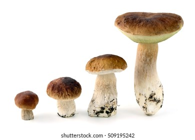 four cepe bun mushrooms on isolated background. different ages of mushroom
