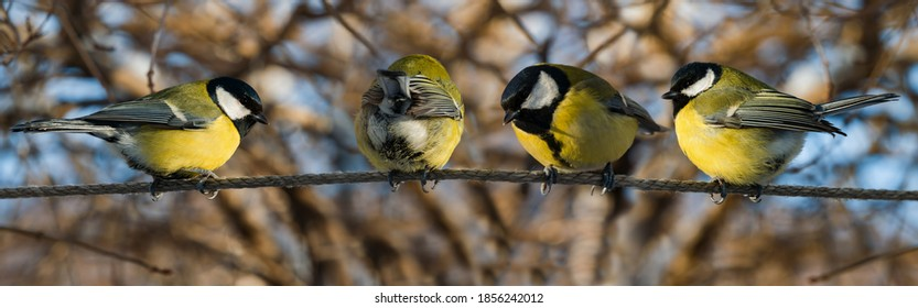 Four chickadee birds perch on a tree branch in winter. Close-up, selective focus. Panoramic view