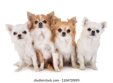 four chihuahuas in front of white background