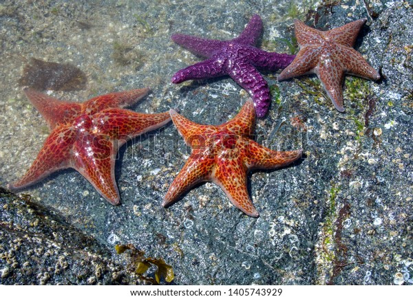 Four colorful starfish on a rocky beach at the edge of the water.