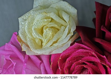 four colours of roses flowers