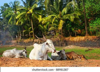 Four Cows laying on the beach with green palm trees at background in Candolim, Goa, India
