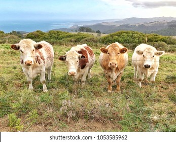 Four Cows in a line looking straight at camera in a country paddock with coastline in background