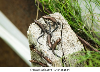 Four cubs of the viviparous lizard on a wooden post. Environment, reptiles
