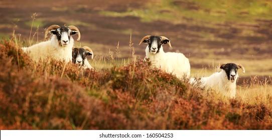 black face sheep images stock photos amp vectors shutterstock