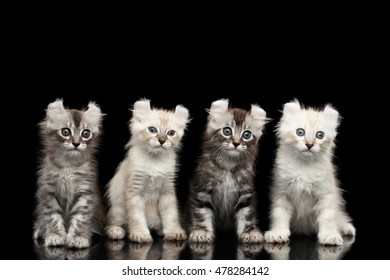 Four Cute American Curl Kittens with Twisted Ears, Blue eyes, Sitting and Looking Curious, Isolated Black Background, Front view