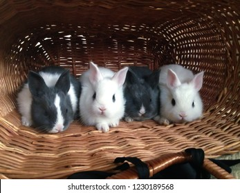 Four cute baby bunnies in a basket on it's side