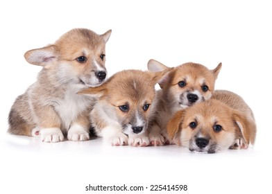 four cute corgi puppies isolated on white background
