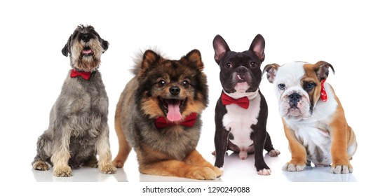 four cute dogs of different breeds with red bowties sitting and lying on white background