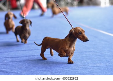 Four dachshunds on the dog show