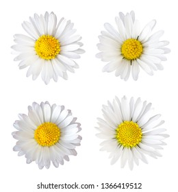 Four daisy flowers (Bellis perennis) isolated on white background