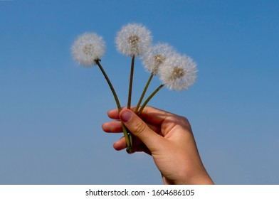 Four Dandelion seedballs are held aloft against a blue sky by young woman's hand
