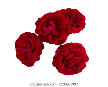 Four dark red roses isolated on a white background