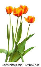 """Four Darwin Hybrids tulips """"Apeldoorn"""" blooming in a row on a bed on a white background isolated"""