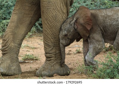 Four day old baby elephant leaning into mother's leg