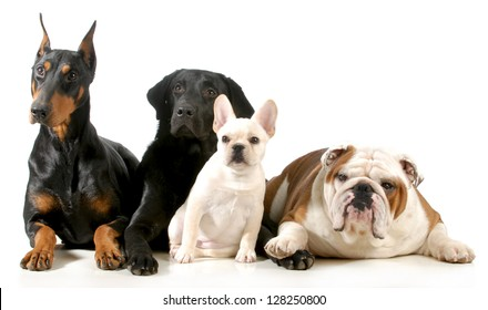 four different breeds of dogs laying together isolated on white background