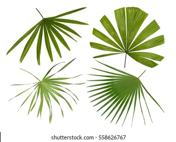 Four different varieties of Palm Fronds isolated on white background, tropical design pattern, Rhapis, Areca, Licuala