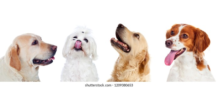 Four differents dogs isolated on a white background