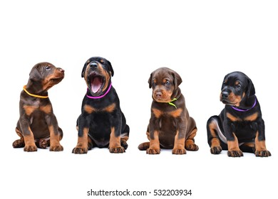 four Doberman puppy sitting in a row, isolated on white