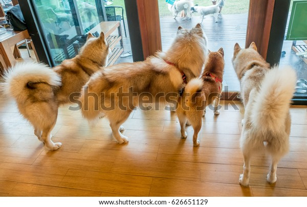 Four Dogs Siberian Husky Shiba Breeds Stock Photo (Edit Now