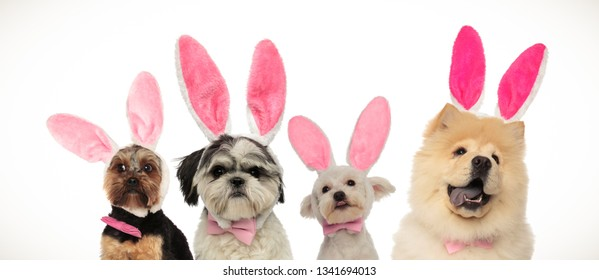four dogs team ready for easter, wearing bunny ears on white background