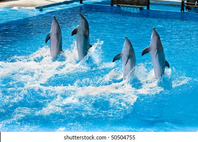 Four dolfins performing in a pool in Palma Majorca