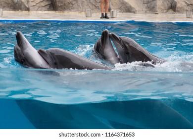 four Dolphin dance, Dolphin