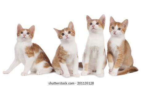 Four domestic kitten