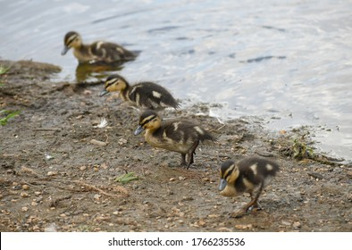 Four ducklings in a row, waddling out of a lake, on a sunny day.