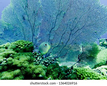 Four Eyed Butterfly fish with a fan coral in the background